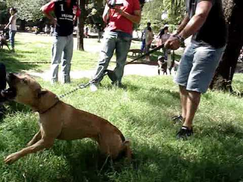 PIT BULL FIGHT