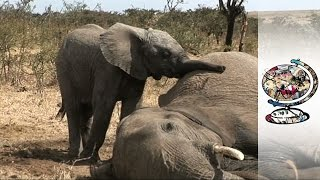 Caring for Baby Refugee Elephants (2010)