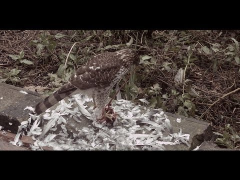 Hawk eats Pigeon: time-lapsed