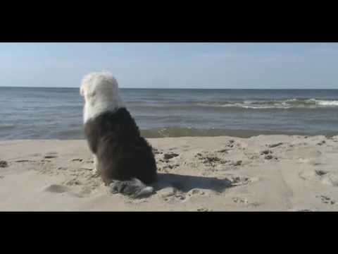 Old English Sheepdog Kiltas video