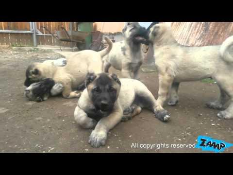 Kangal Puppies - Kangal Puppy Fight