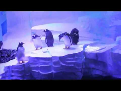 Gentoo penguins at The Deep, Hull (March 2014)