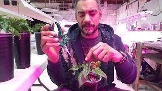 Pruning Pepper Plants
