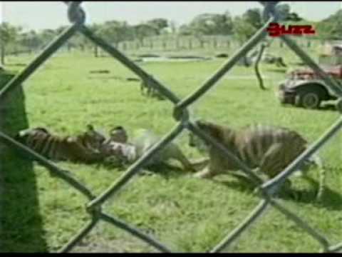 Tigres Atacan a Domador