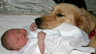 Golden Retriever and Babies Compilation NEW