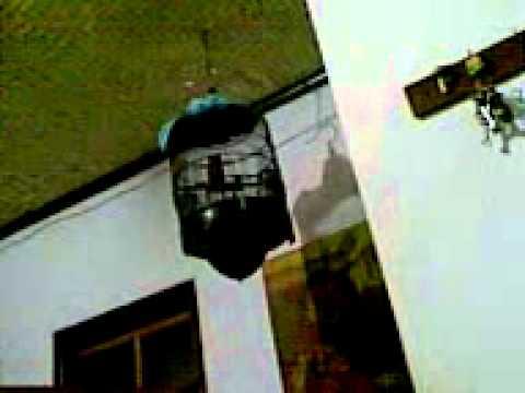 Free Kicau Burung Jalak MP4 Video Download