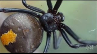 Redback Spider Mating Ritual