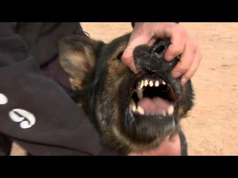 SEALs  Top Dog: German Shepherd