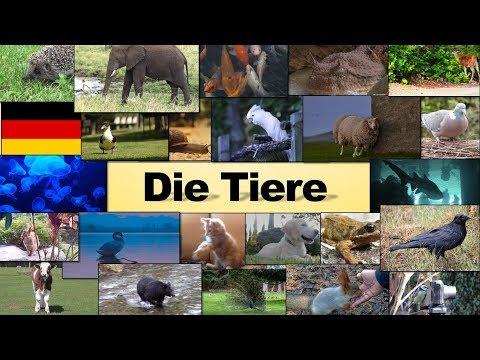 Die Tiere | Niveau A1 A2 | Deutsch als Fremdsprache | Kafshët | Gjermanisht për fillestarë |