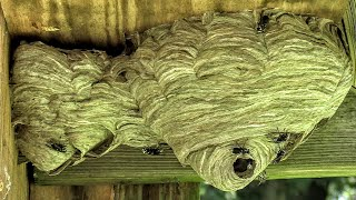 Yellow Jackets Nest Bald Face Hornets Nest Relocation Update