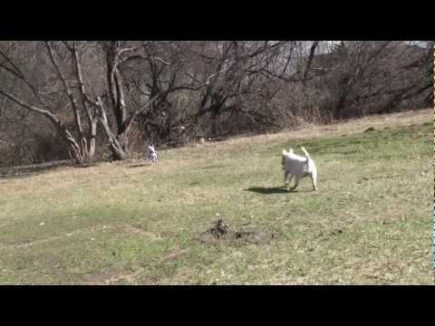 0 Bull terrier spring 2012/04  part 10