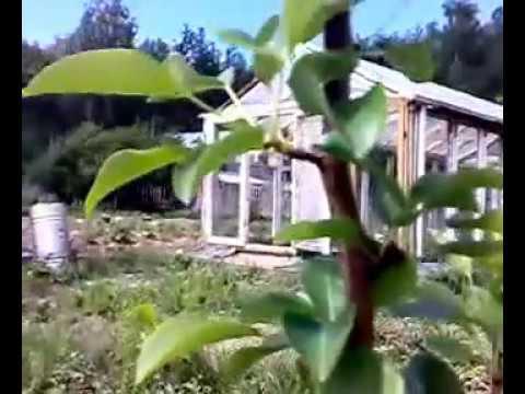 Как защитить груши и яблони от муравьёв и тли!.avi