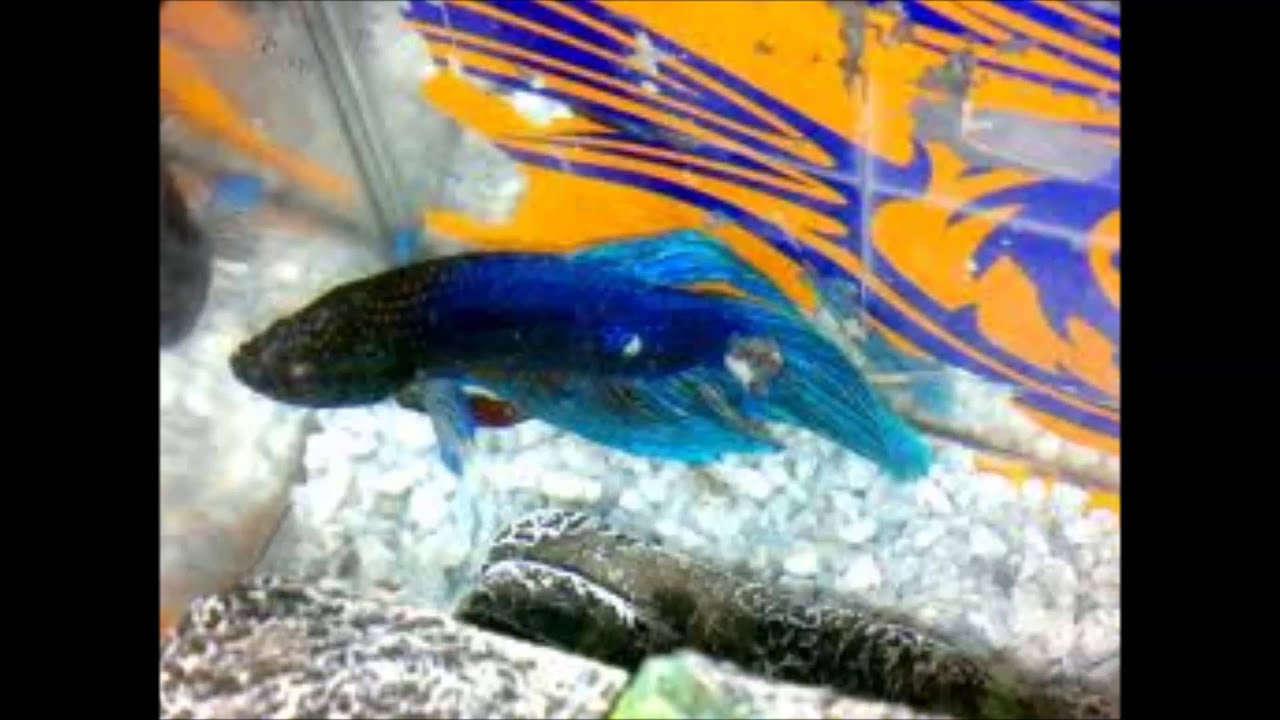 Tipos de peces y sus cuidados youtube for Peces goldfish tipos