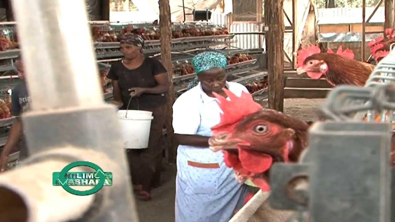 Poultry Feeding in Kenya of Sigma Feeds Kenya