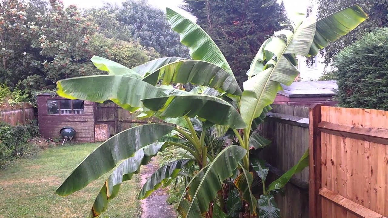 banana plant investigatory project Read this essay on example of investigatory project plant's needs fertilizer to like ethyl alcohol from ripe banana peelings rat killer extract from.