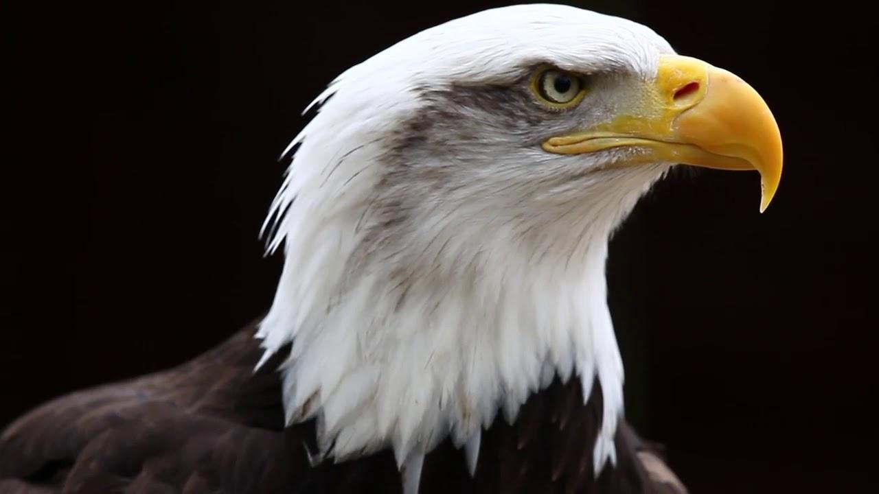 Eagle download