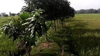 Bangla xxx mango