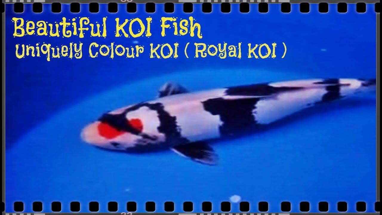 Beautiful koi fish unique koi royal koi video for Beautiful koi fish