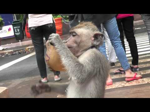 Street Monkey Chewing On Mask in Indonesia