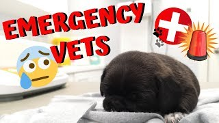 ONE OF THE PUG PUPPIES IS SICK! EMERGENCY VET TRIP! 😥