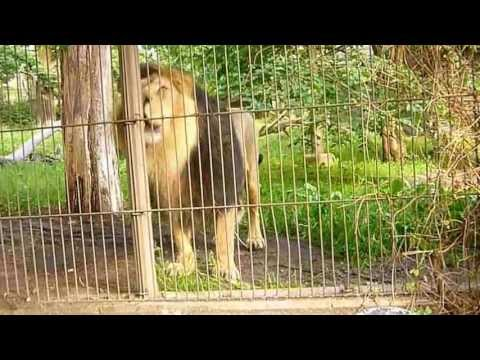 Asian Lion Roaring,  Scaring A Child video