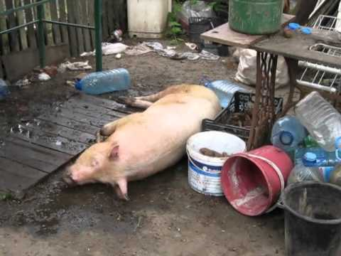 Опаливания свиней своими руками 509