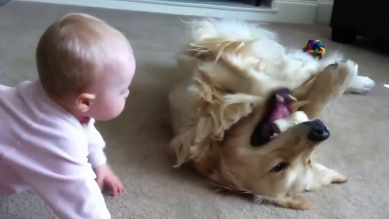 Un bébé essaie de voler l'os d'un Golden Retriever