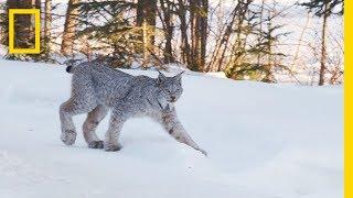 Snow DNA Reveals New Way to Track Animals in Winter | Short Film Showcase