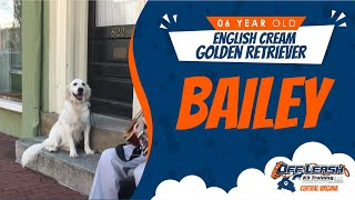 6 yo English Cream Golden Retriever (Bailey) Best Dog Trainers in VA