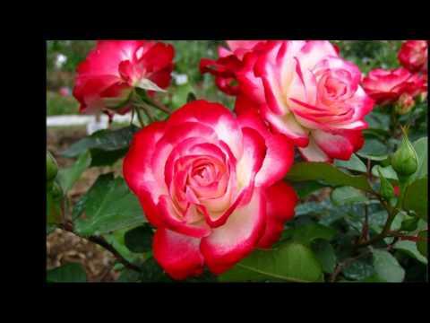Вальс цветов (Воспоминание о цветах).