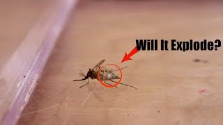 Can Mosquito Actually Fly In a Vacuum Chamber?