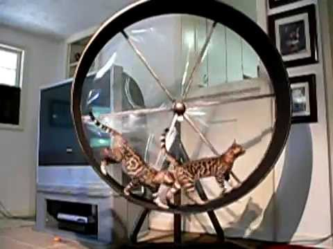 Bengal Cats Working Out