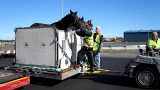 DHL 727 Freighter offloaded horse Perth Airport
