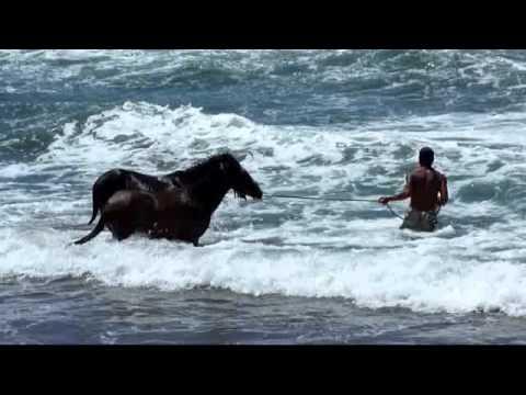Dressage de cheval sauvage sur la plage de Puamau - Hiva