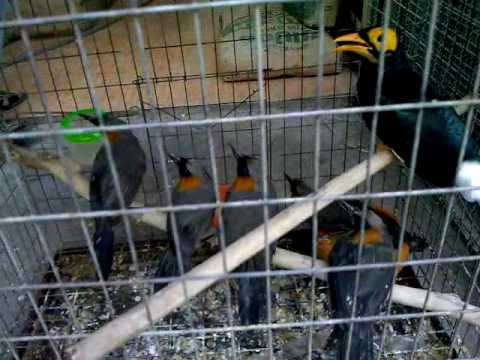 MrBufares - سوق الطيور في تايلند