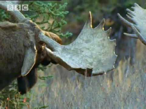 BBC: Bull Moose Battle - A Moose Named Madeline Video