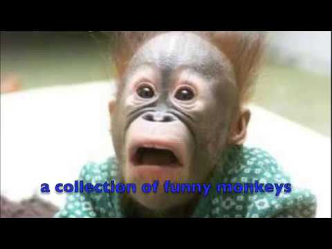 funny monkey compilation