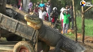 Giant Crocodile Gets Rescued