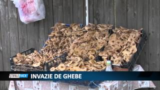 INVAZIE DE GHEBE MDI TV