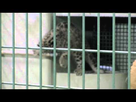 水でぴちゃぴちゃ ユキヒョウの赤ちゃん~Snow Leopard's Baby plays by water