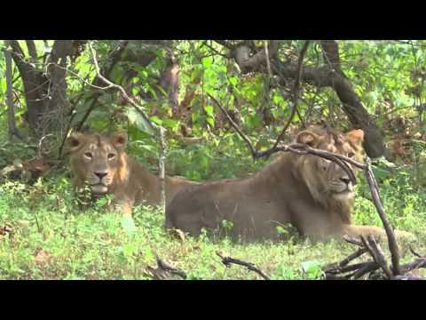 Big Five Asien Der Löwe (Doku 2016)