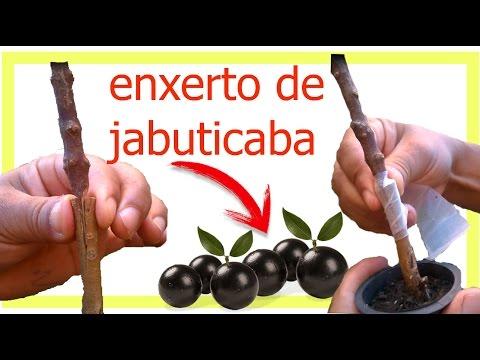 (( ENXERTIA )) COM MUDAS DE JABUTICABA / PARTE FINAL