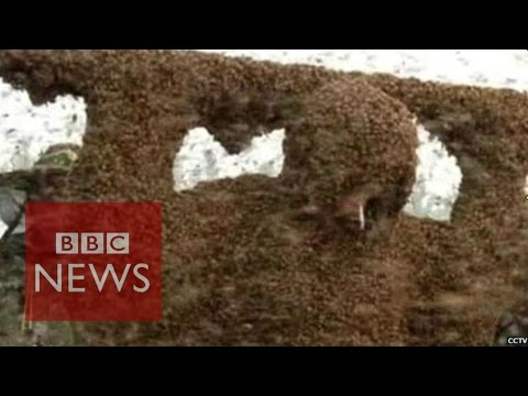 China: Man covered in 109kg of bees sets Guinness World Record - BBC News