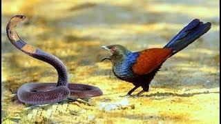 Bìm bịp loài mãnh điêu bắt và ăn cả rắn hổ mang