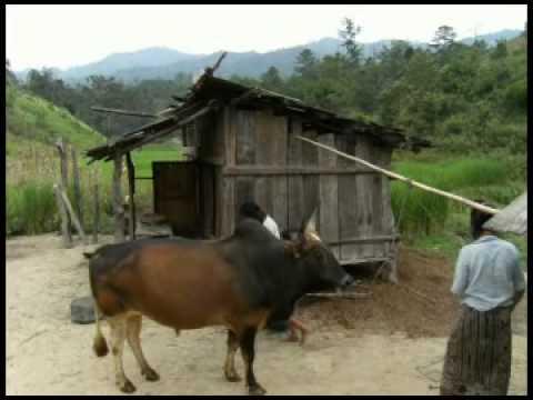 Cattle fattening case study (Lao) -- Mr Yongnengthor