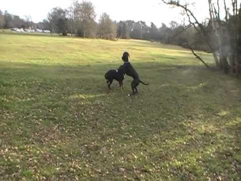 Rottweiler V s Great D...