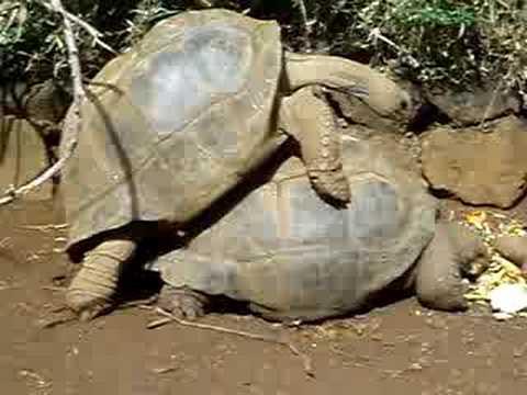 Giant Tortoise Humping