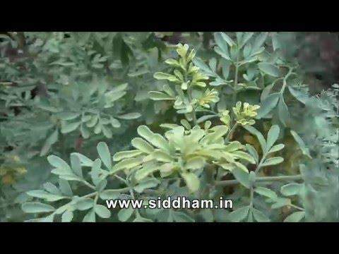 Health benefits of Aruvatha - Ruta graveolens