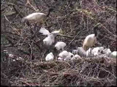 Indian Birds- White Ibis