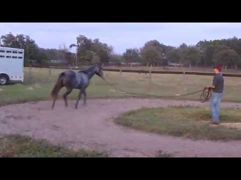 Sixy - Aqha Yearling Filly For Sale - Lunging - December 9th 2013 video